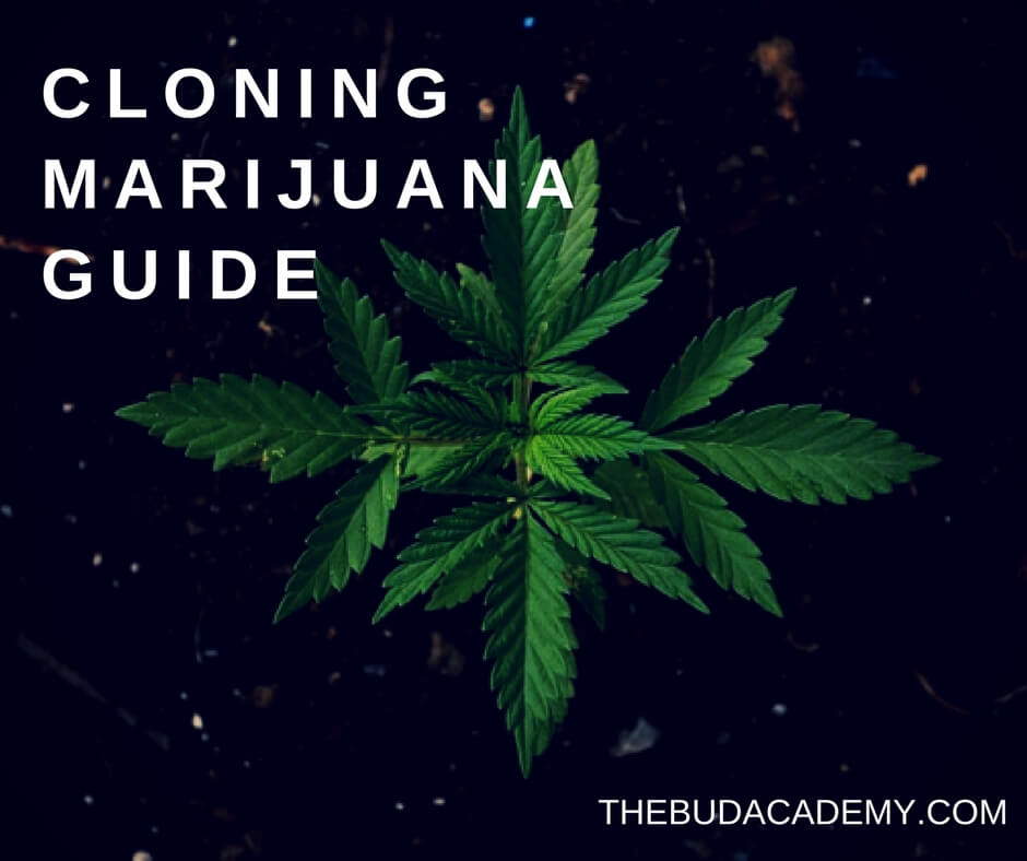 Everything You Ever Wanted To Know About Cloning Marijuana